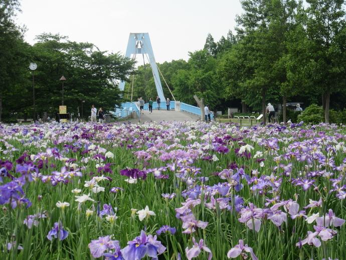 都立水元公園の菖蒲まつりの時期が近づいて参りました~。