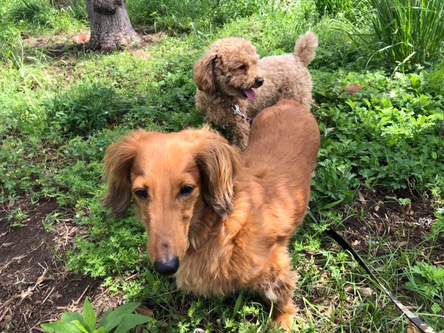 昨日定休日でしたので愛犬2名にサービスで午前と午後の2回のお散歩を致しました~。